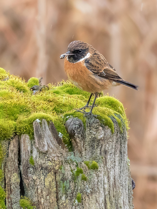 Stonechat on post with bee in its beak