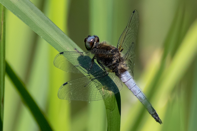 Broad Bodied Chaser dragonfly