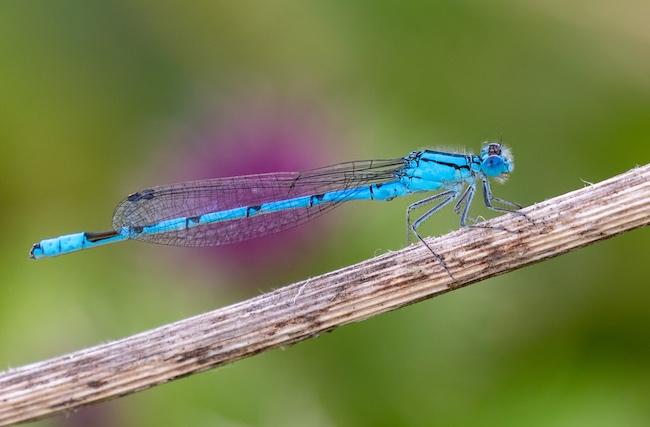 Common Blue Damselfly photo