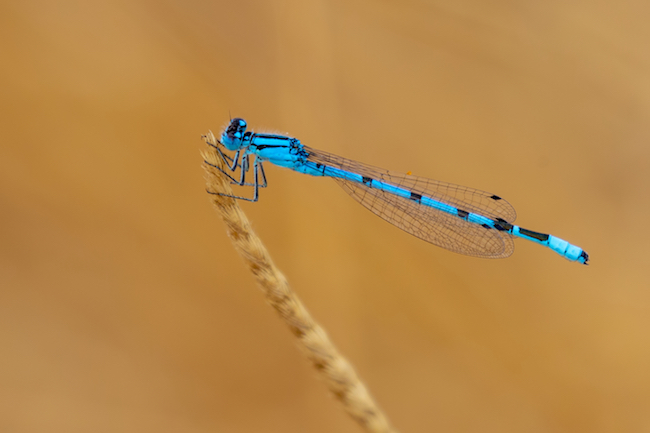 Common Blue damselfly with smooth background