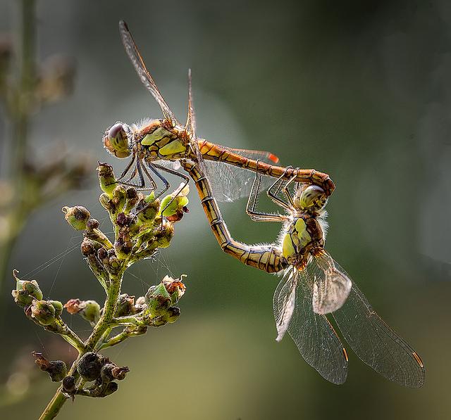Ruddy Darter dragonfly pair