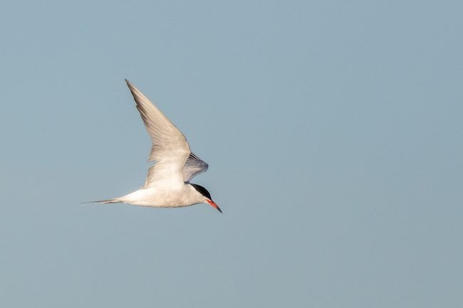 Flying Common Tern