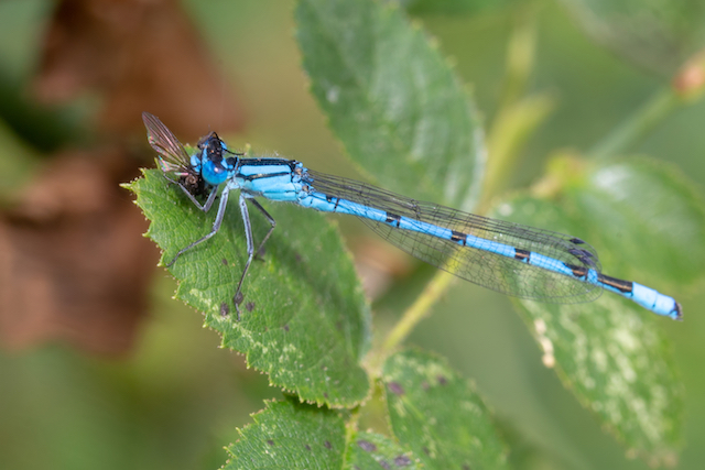 Common Blue Damselfly eating a fly