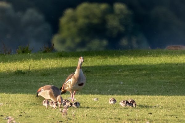 Photo of a family of Egyptian Geese
