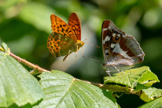 Silver Washed Fritillary approaching a Purple Emperor