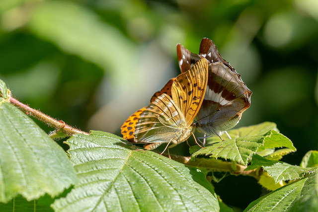 Purple Emperor and Silver Washed Fritillary