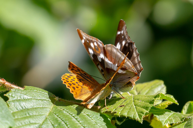 Purple Emperor being chased off by Silver Washed Fritillary