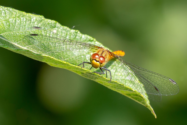 Common Darter dragonfly on leaf