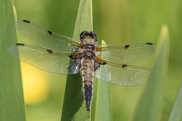 Four Spotted Chaser dragonfly photo