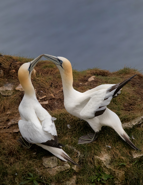 Gannet pair courting
