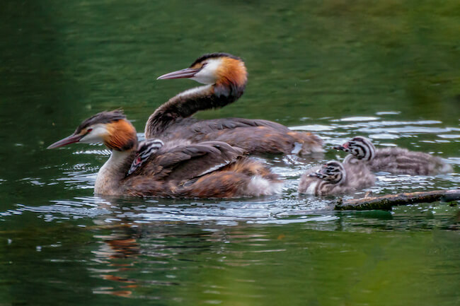 Great Crested Grebe parents and babies