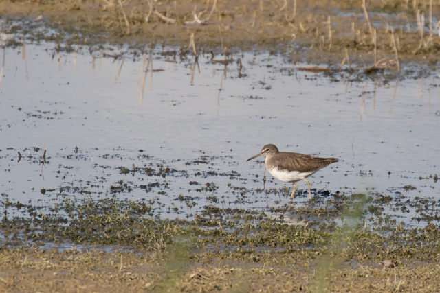 Photo of Green Sandpiper