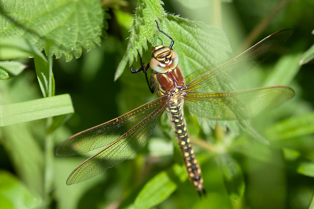 Hairy Dragonfly on nettle