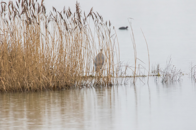 Grey Heron amongst the reeds at the edge of the water