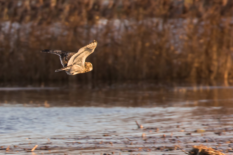 Short eared owl hunting at winter sunrise