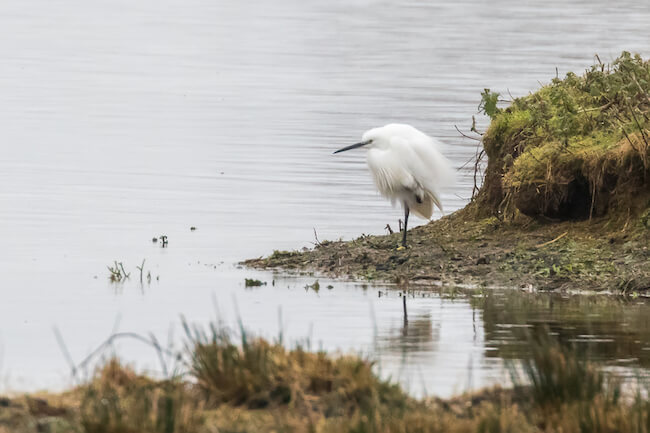 Little Egret standing by the edge of the lake
