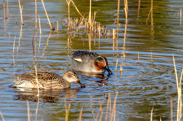 Male and female Teal in the water at Fowlmere