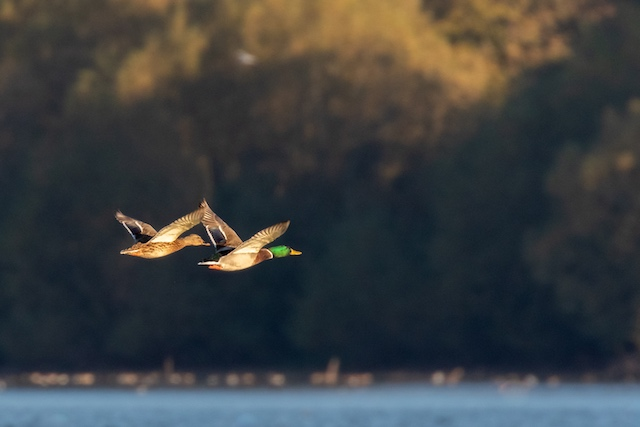 Male and Female Mallard in flight at sunrise