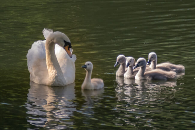 Female Mute Swan and young cygnets