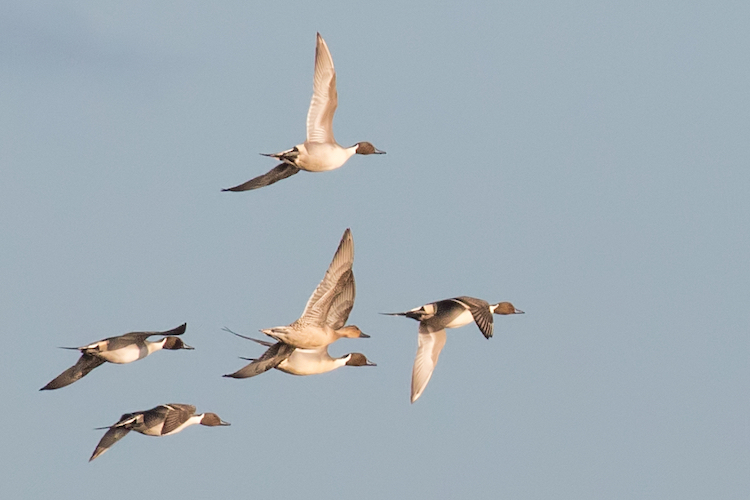 Flock of pintail ducks