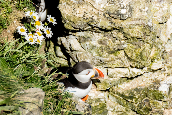 Puffin outside burrow on cliff face