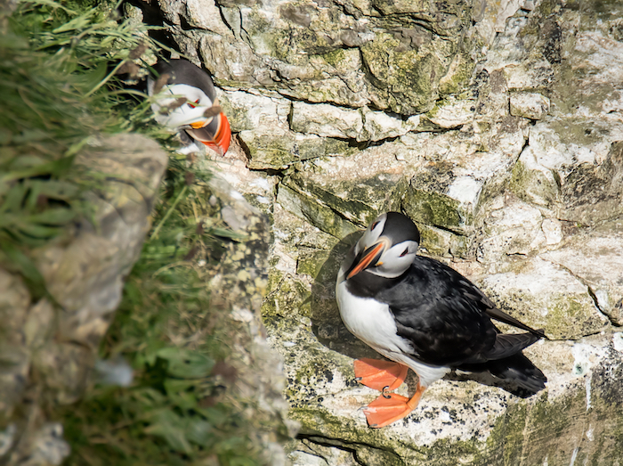 Puffins beside burrow in the cliffs