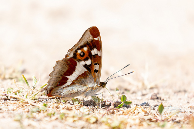 Purple Emperor butterfly on the ground