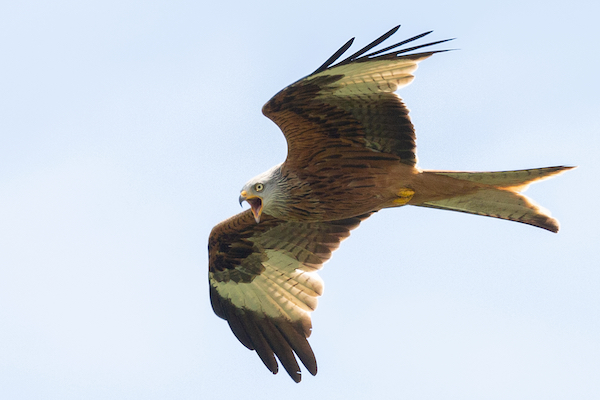 Photo of Red Kite