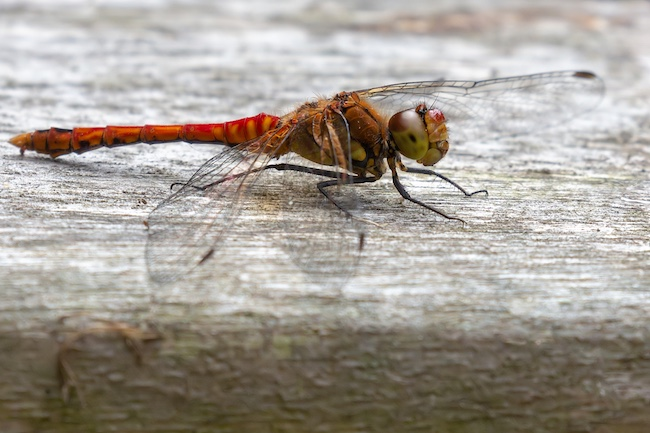 Ruddy Darter on picnic table