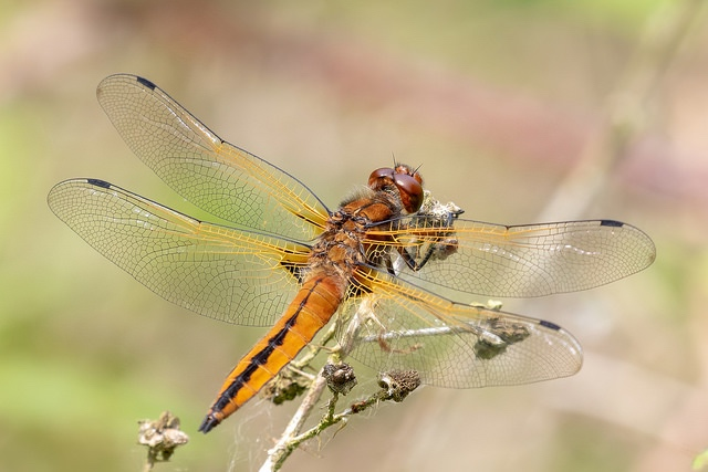 Scarce Chaser dragonfly photo