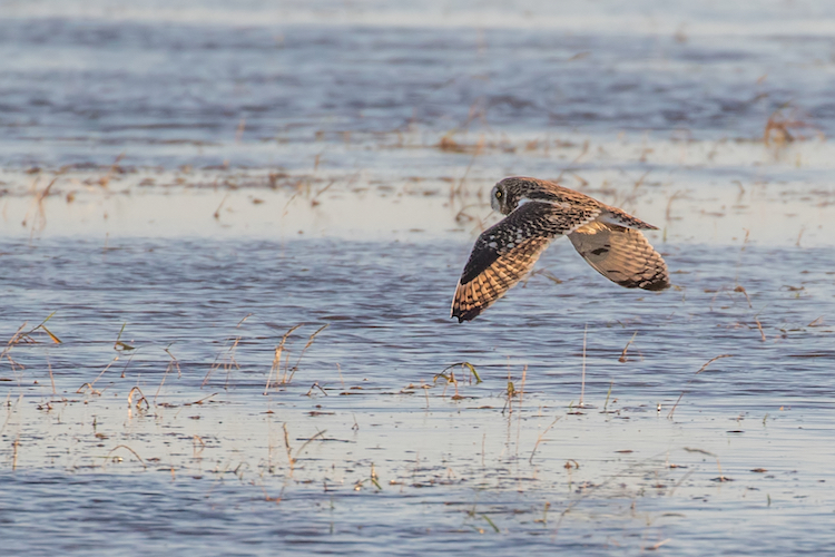 Short eared owl flying over water