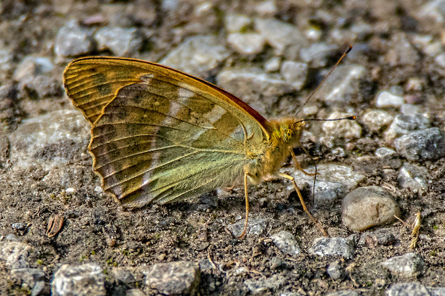 Silver Washed Fritillary butterfly side view