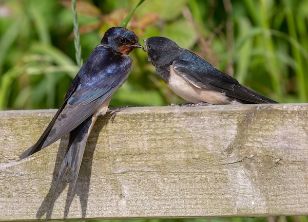 Parent feeding young swallow