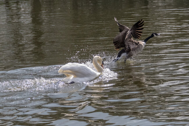 Swan chasing goose in protection of his cygnets