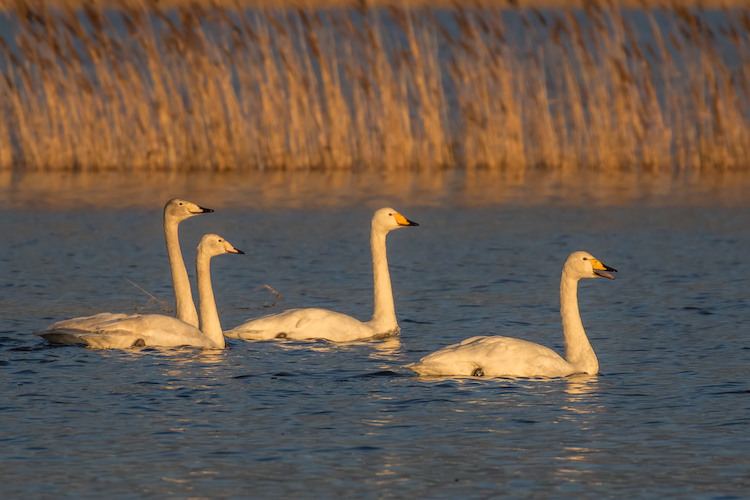 family group of whooper swans