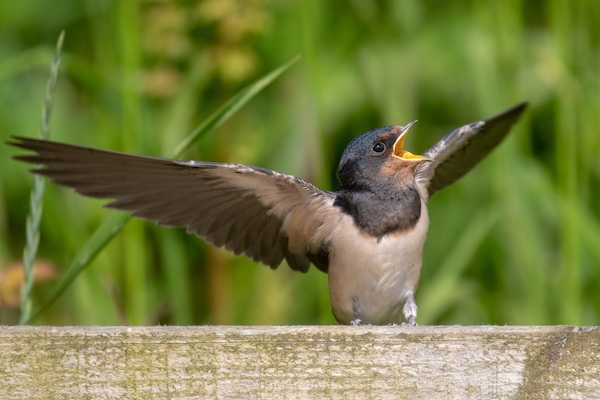 Young swallow begging to be fed
